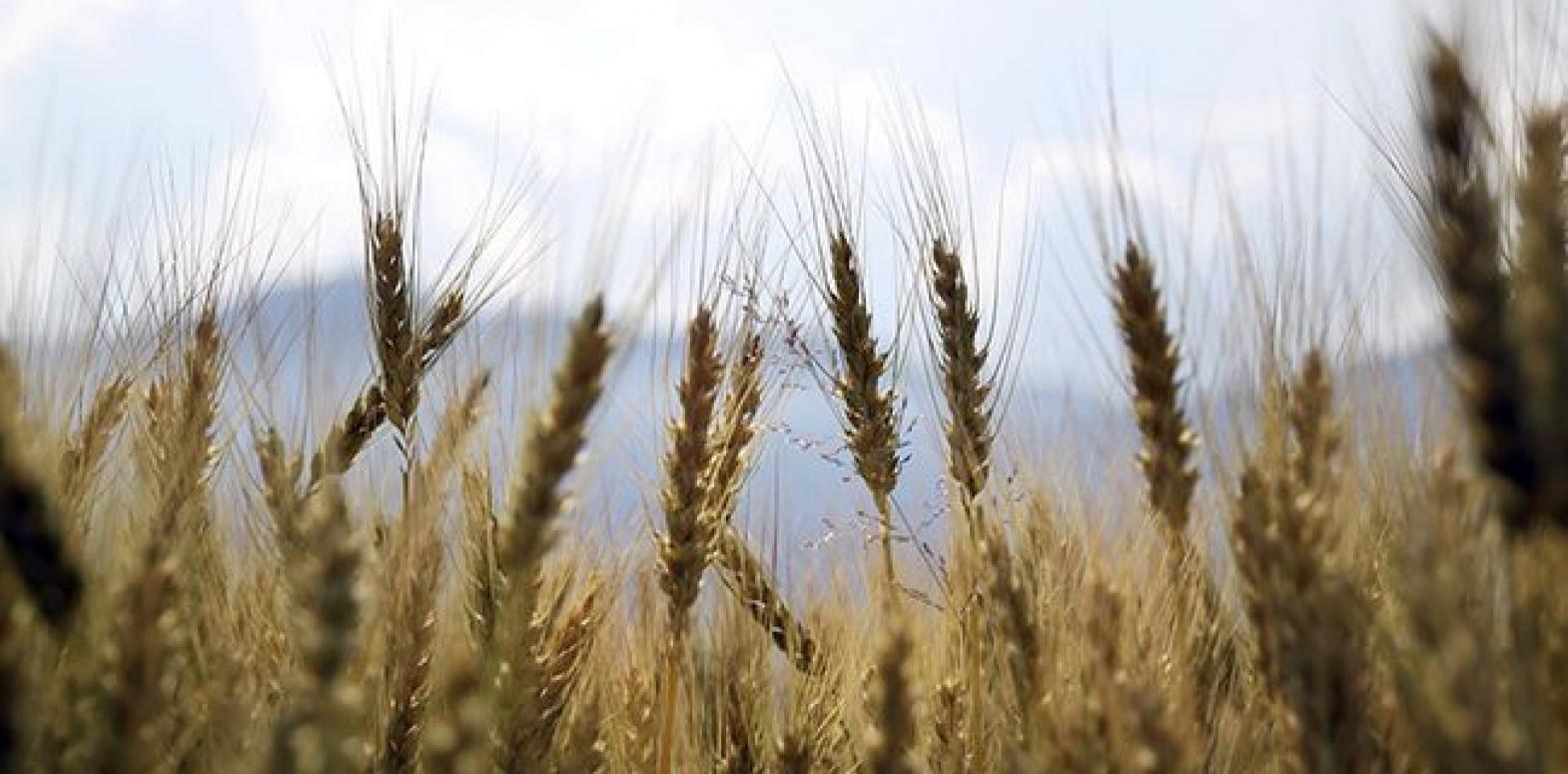 В Украине уже собрали рекордный за всю историю урожай зерновых